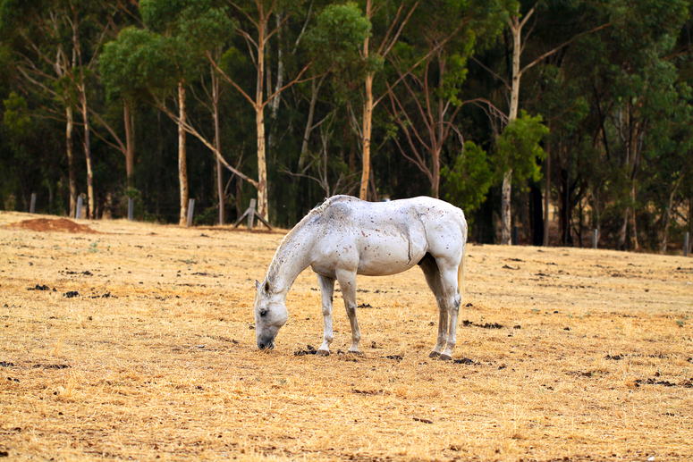 Horse Grazing on dry grass in sloped paddock. North Adelaide Parklands, Adelaide, Australia