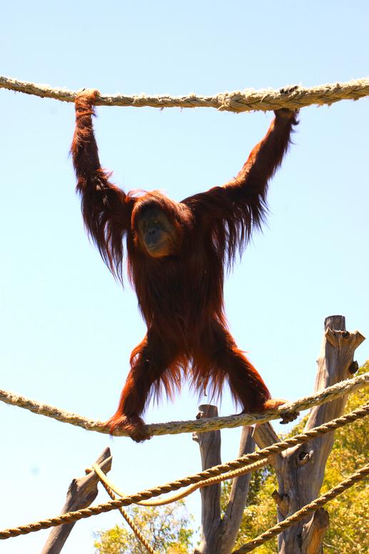Karta, the Sumatron Orangutan. Adelaide Zoo, Australia