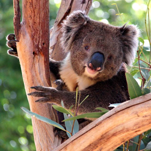 Koala in a Eucalyptus Tree, Adelaide, Australia
