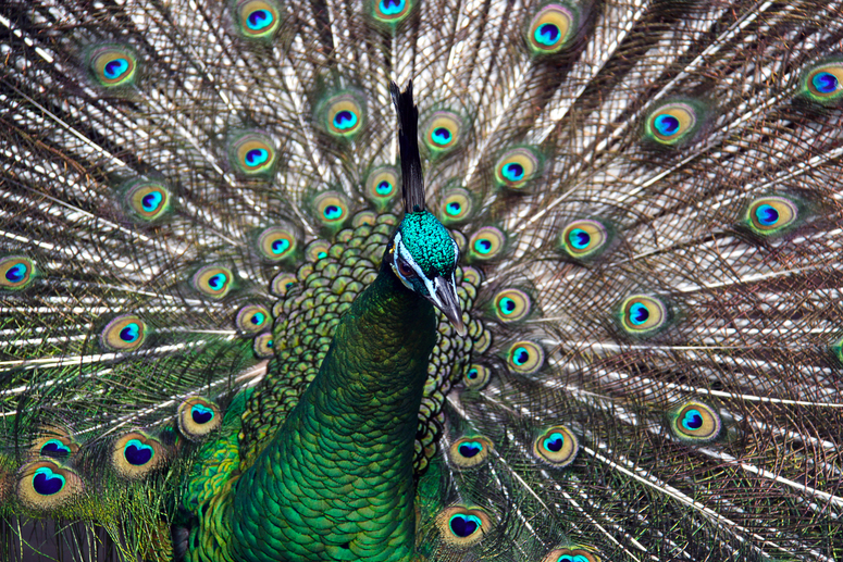 Male Green Peafowl (Peacock) - Pavo muticus - Adelaide