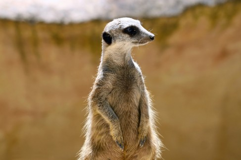 Meerkat (Surikate) standing upright as Sentry - Suricata suricat