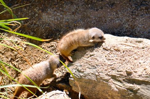 One Month Old Baby Meerkats - Suricata suricatta Adelaide Zoo
