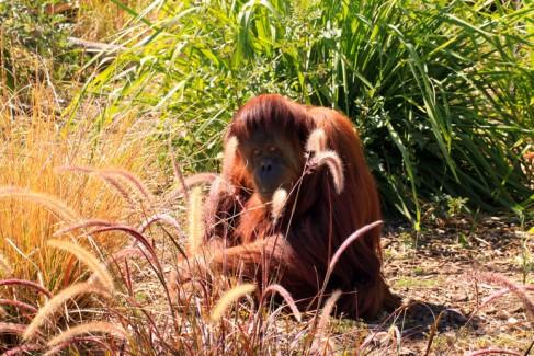 Sumatran Orangutan camouflaged by grasses. Adelaide Zoo, Adelaide