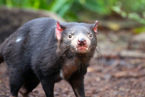 Tasmanian Devil - Sarcophilus harrisii in Adelaide