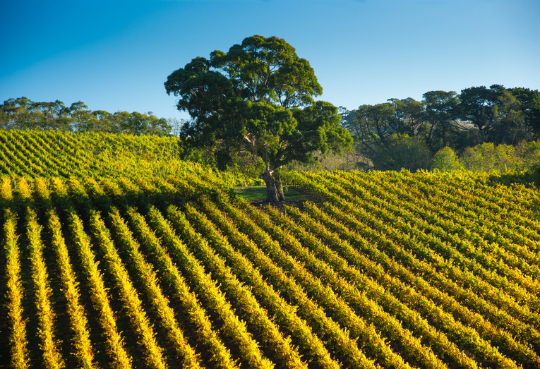 Vine Rows Adelaide