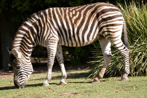 zebra eating grass in Adelaide